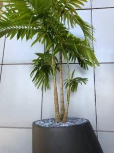 palmier en pot